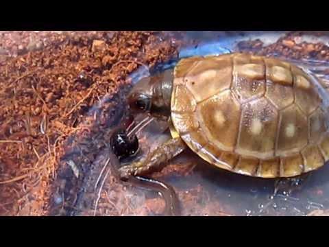 Baby Eastern Box Turtle Devours Earthworm