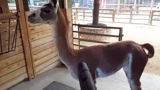 Fiesta the Llama LOVES our Leaf Blower