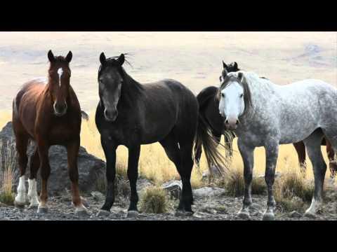 The Wild Mustangs of Saylor Creek