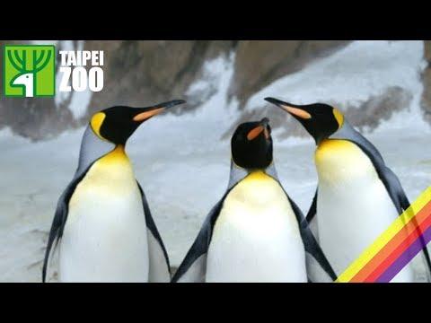 台灣-臺北市立動物園-EP 156 國王企鵝吃相大不同—保育員耐心照養餵食