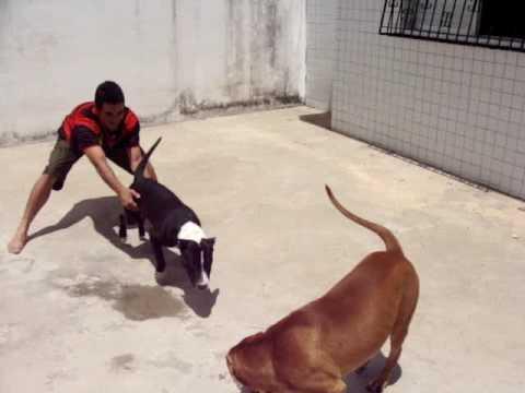 Zian (PitBull) e Zeus (Bull Terrier)