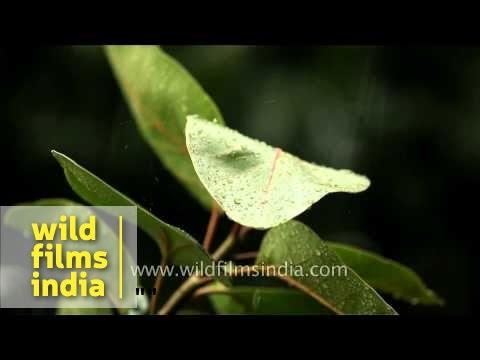 Monsoon rain falls on green leaves - Delhi