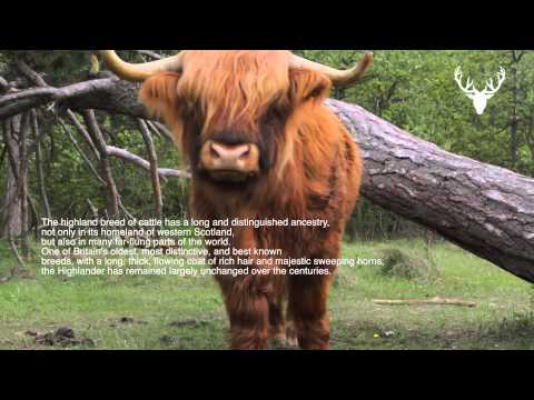 Moodmasters video content : Scottish Red Highland Cattle