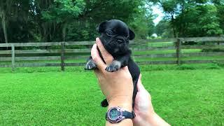 PuppyFinder.com : French Bull Dog Puppy