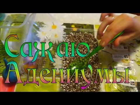 Посадка семян АДЕНИУМОВ / Вариегатные сорта