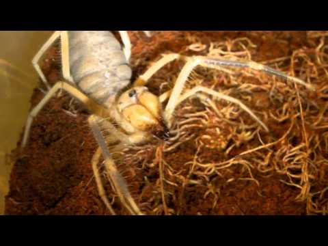 Angry Camel Spider!