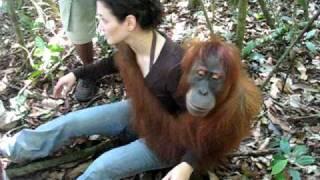 Orangutan, Bukit Lawang / Indonesia, Sumatra