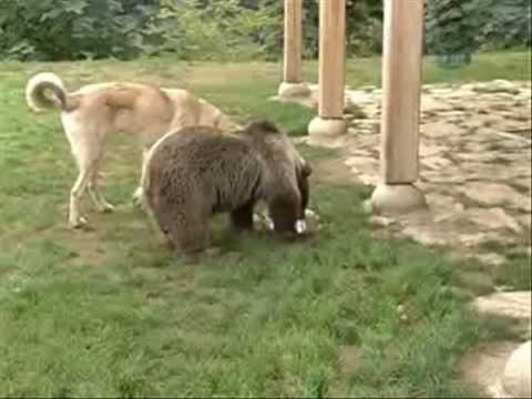 Dog playing with bear Video