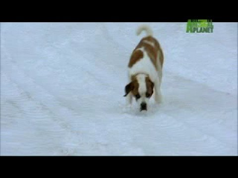 Dogs 101 - Saint Bernard