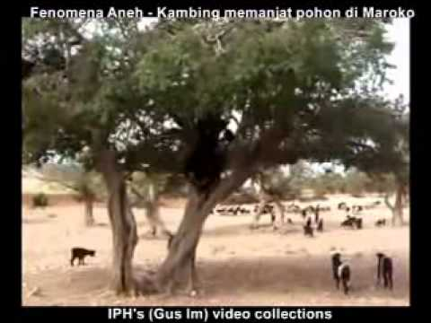 Music video Kambing memanjat pohon di Maroko (IPH's video collections) - Music Video Muzikoo