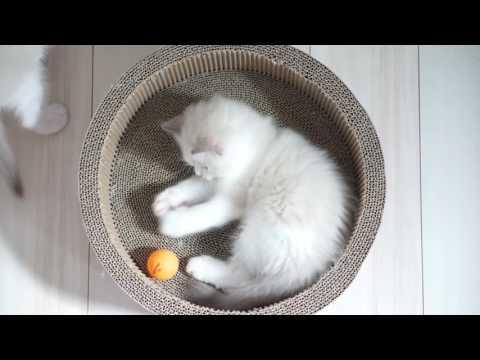 【子猫】ミルクとシュガー_아기냥이 밀크와 슈가