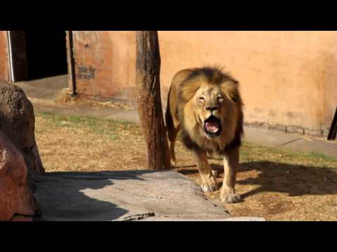 Lions Roar - Please Turn Up The Volume For This Video!! video