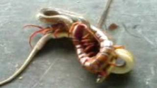 A Huge Centipede Fighting A Snake