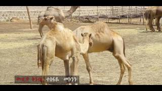 Ashenafi Legesse   Babur Ena Dire   New Ethiopian Music 2016 Official Video rCVXI38sMUg