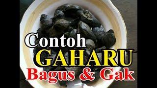 POHON GAHARU YG BAGUS DAN YG TIDAK BAGUS (GOOD AGARWOOD)