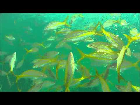 Yellowtail Snapper Chum