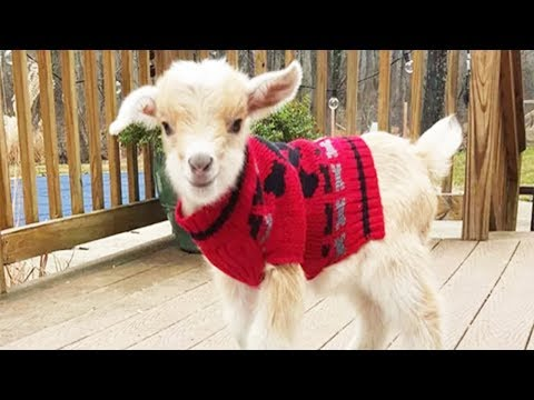 Most Funny and Cute Baby Goat Videos 2017