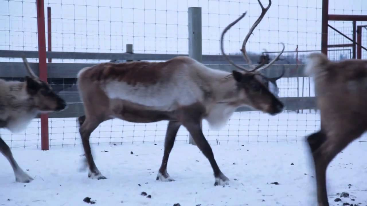 Are Reindeer Real? We Found Some! - YouTube