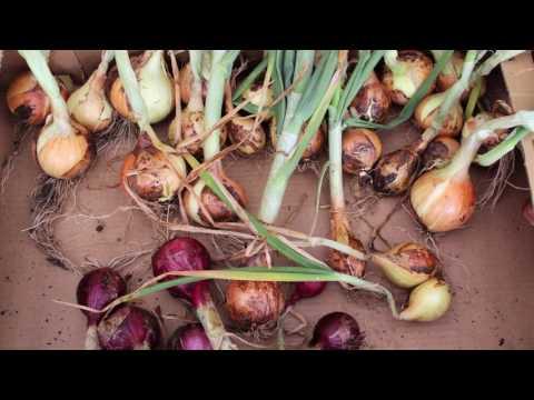 Erste große Ernte im kleinen Garten