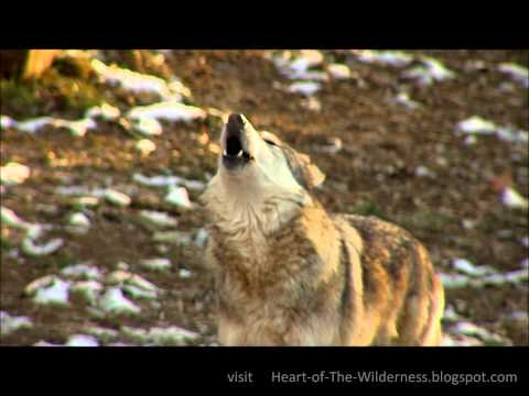 Awesome Wolf Howling Compilation video