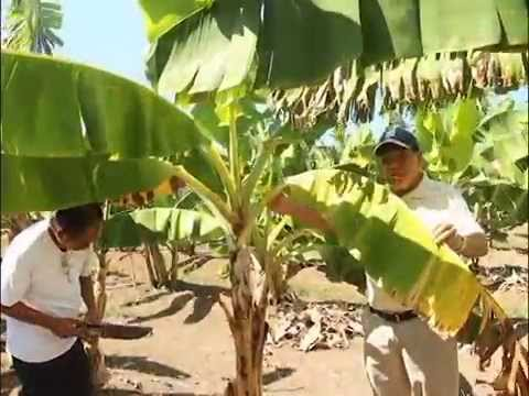 GCTCV 219 banana variety in the Philippines [Part 1/2]