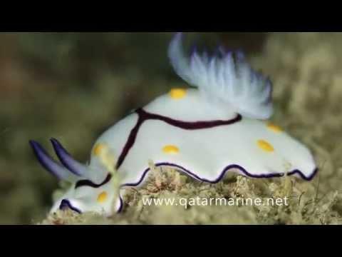 Qatar Marine hidden treasure 1 by Khaled Zaki  من كنوز قطر البحريه  خالد ذكي