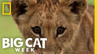 It's Lion Cub Play Time | Big Cat Week