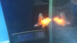 Fancy Goldfish often have swim bladder problems!