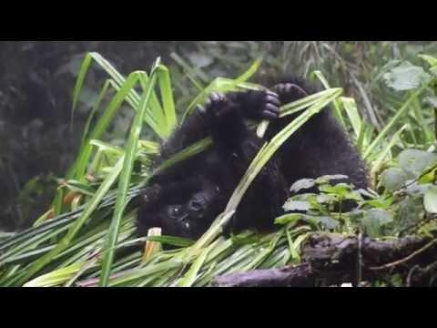 Adopt a gorilla from the Dian Fossey Gorilla Fund!