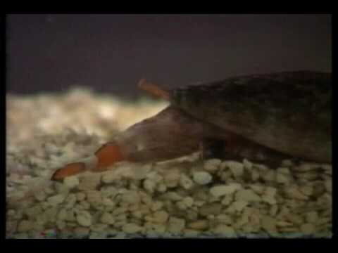 Cone snail eating a clown fish