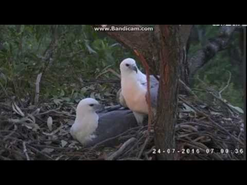 Sea Eagle Australia -Male arrived , change, lady departure for breakfast -2016 07 23 06 58