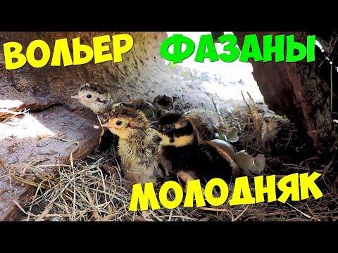 ВОЛЬЕР С ФАЗАНАМИ МЕСЯЦ СПУСТЯ МОЛОДНЯК