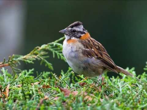 Aves Do Brasil - O Canto Melodioso Do Tico-tico. video