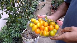 Colheita de laranja kinkan orgânica super carregada em vaso sem gastar dinheiro