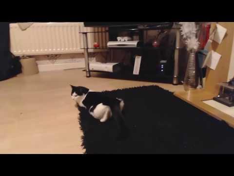 litter box training a young kitten