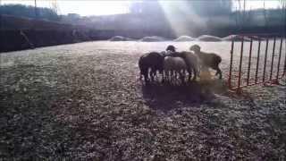 Вельш Корги пасёт овец впервые