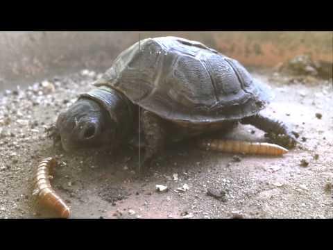 Baby Turtle Eating Giant Mealworm