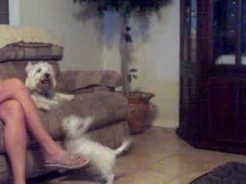 West Highland White Terrier Fight Video