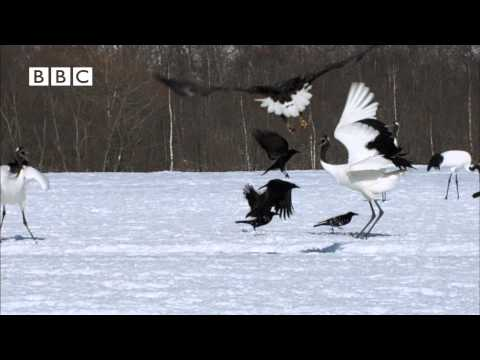Beautiful Japanese Cranes in extraordinary truce with Predators (Earthflight - David Tennant)