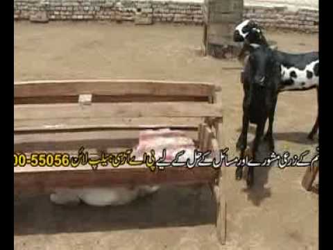 Goat farming technology part-2 Pakistan Dr.Ashraf Sahibzada