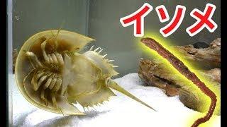 飼ってるカブトガニにイソメを与えてみた結果…!