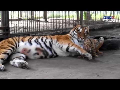 Милые кадры из Барнаульского зоопарка: амурская тигрица Багира играет с тигрёнком