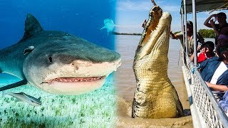 Tiger Shark Vs Saltwater Crocodile - Who Would Win?