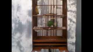 Suara Burung CI.3GP