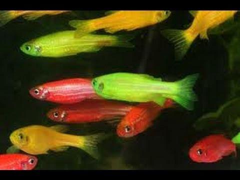 German red angelfish
