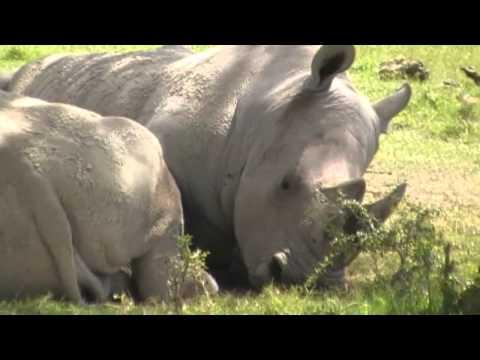 Rhino filmed on safari in Kenya, Africa