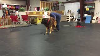 Draft Dog Harnessing