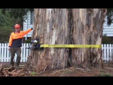 tree Removal And Tree Climbing Techniques With Chainsaws video