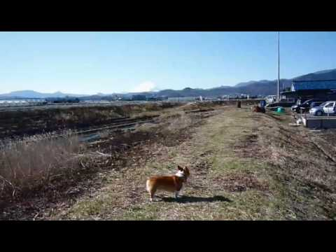 (HD) Goro@Welsh corgi 20090201 Mt.Fuji