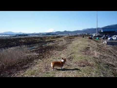 (HD) Goro@Welsh corgi 20090201 Mt.Fuji